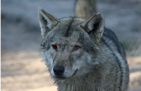 wolf red eyes
