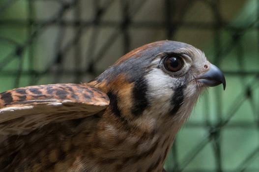 Portrait of an American Kestrel 'Jaeda'