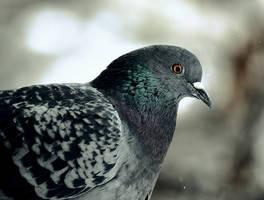 Pigeon by ksushiks