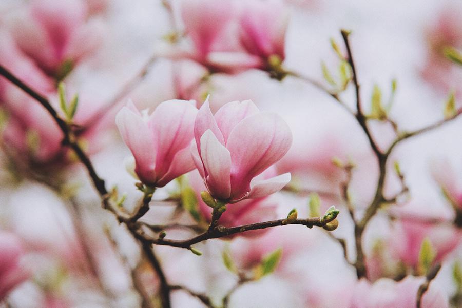 Magnolia by ksushiks