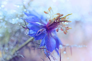 love-in-a-mist by Mars-Hill