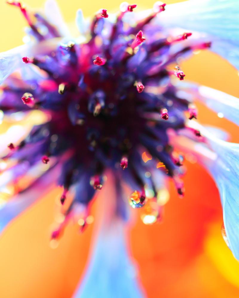 Cornflower by Mars-Hill