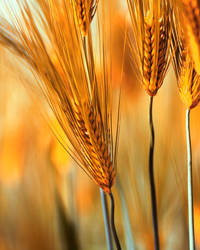 Barley by Mars-Hill