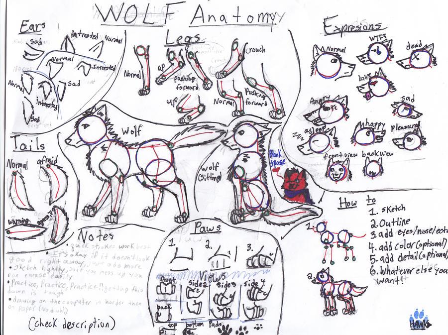 Wolf Anatomy By Shadowfire88123 On Deviantart
