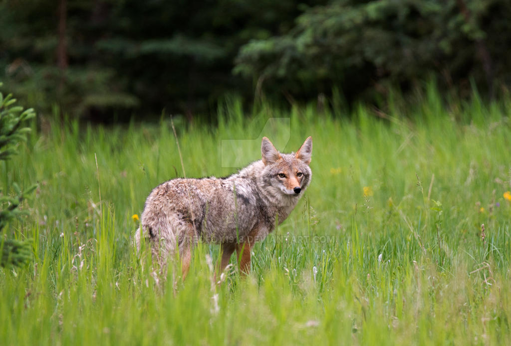 Coyote by Redfox1918
