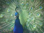 Peacock by UnicornReality