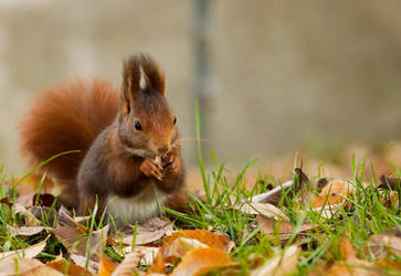Red Squirrel 2 by TheHoodedMan