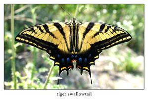 tiger swallowtail by xanadian