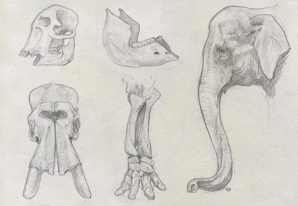 elephant studies by Kuroi-kisin