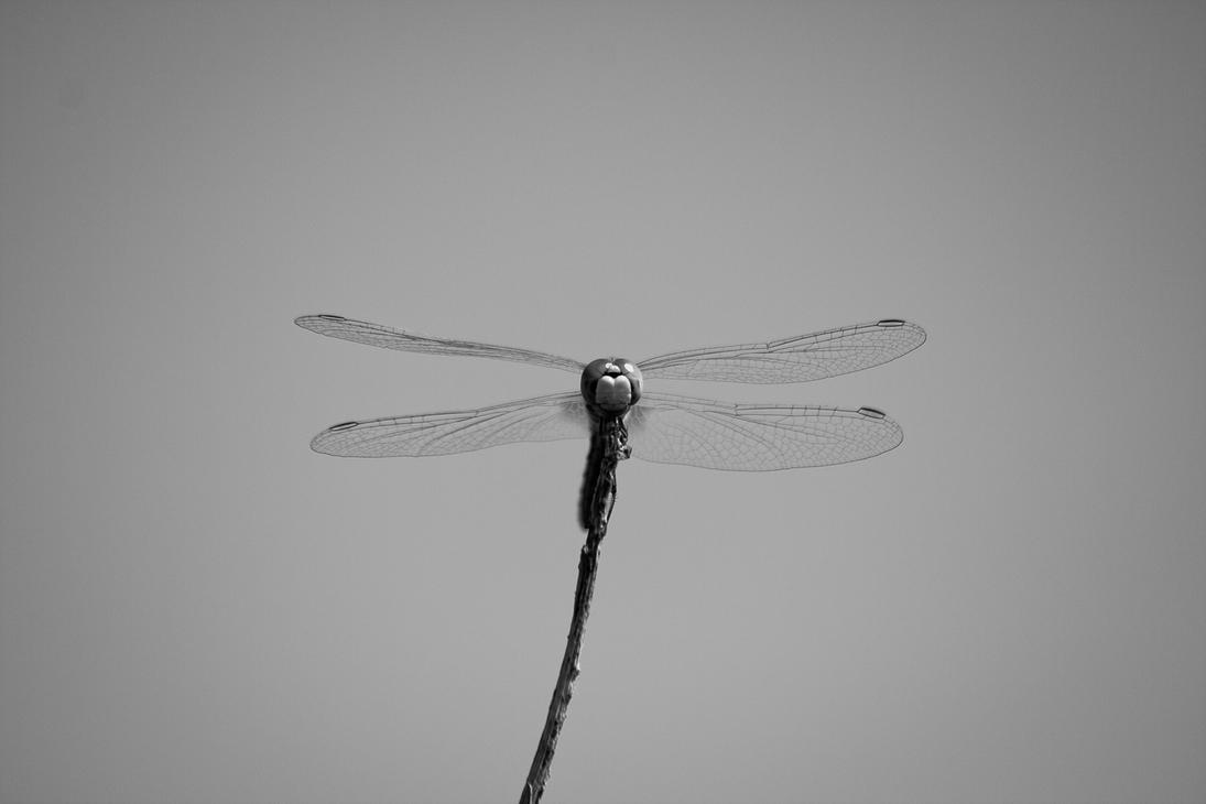 Dragonfly by HOMER65