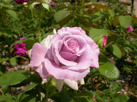 pink rose in Lincoln, NE by Busta09