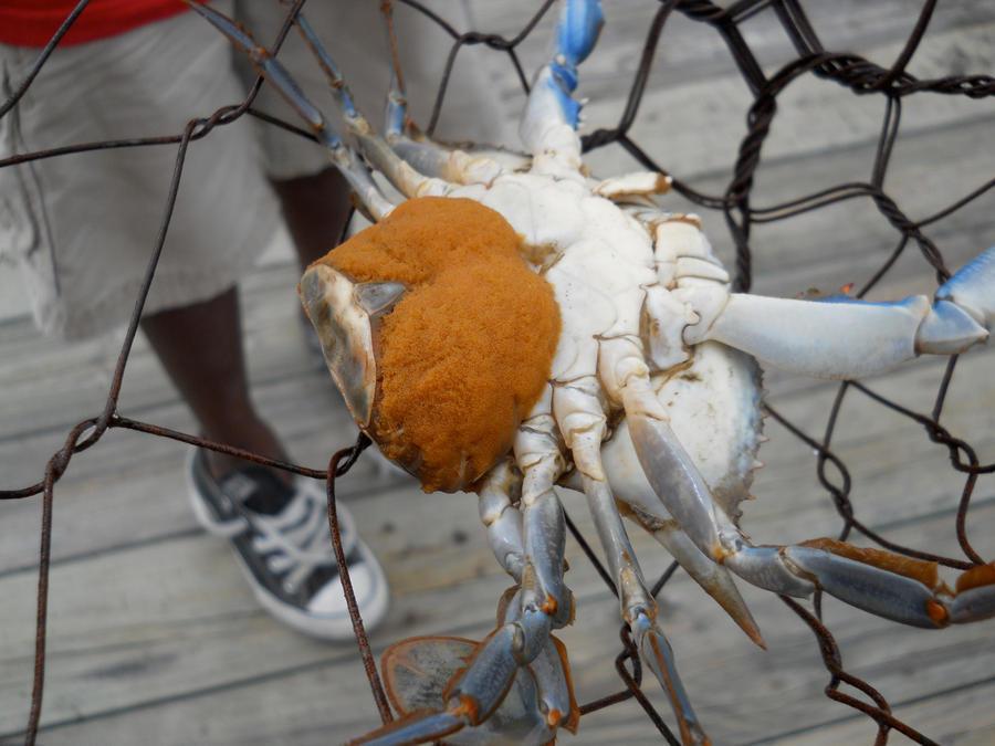 Crab When Pregnant 80