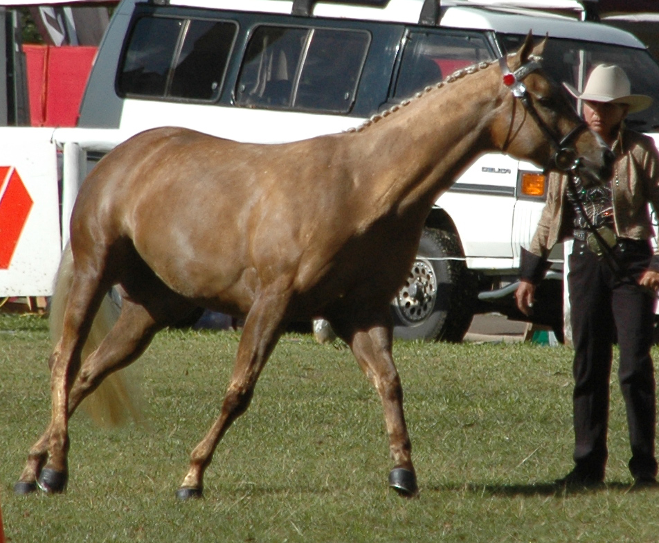 Palomino Horse Images Palomino Quarter Horse