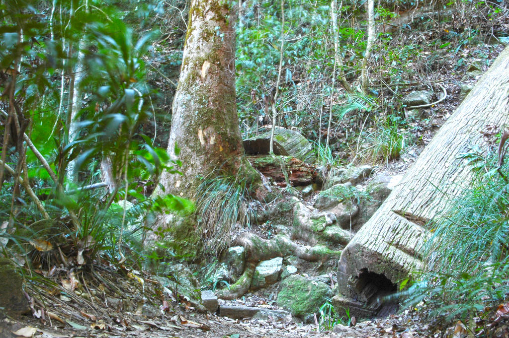 2014-kondalilla-tree-rocks2 by tbg-stock-images