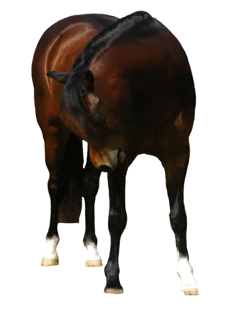Bay-welsh-pony-3-tack-removed by tbg-stock-images