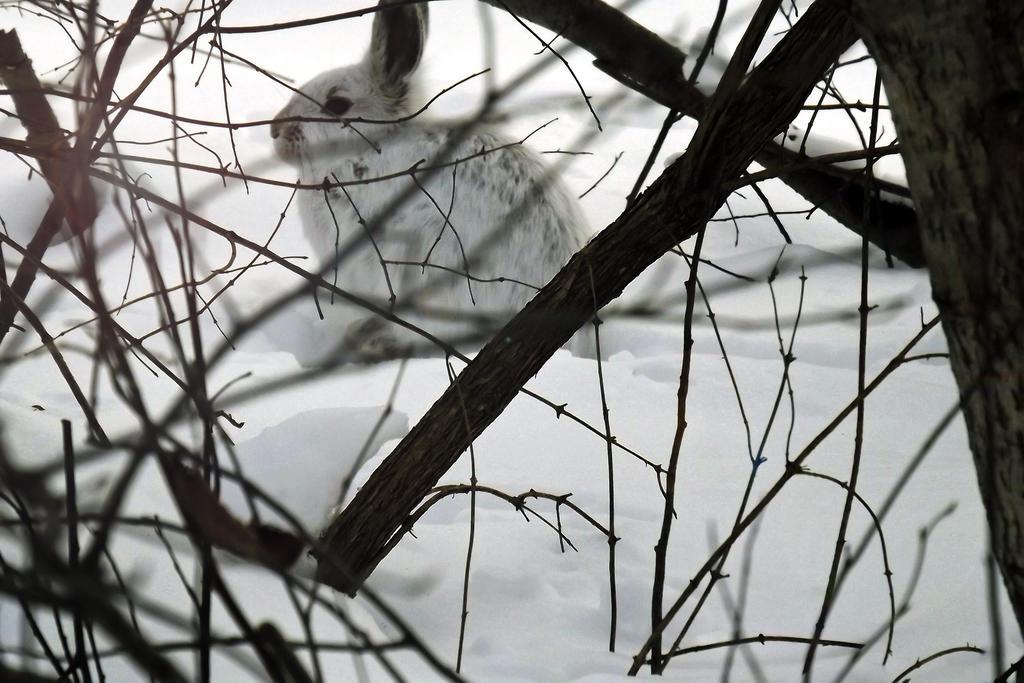 white rabbit by Alyssam13