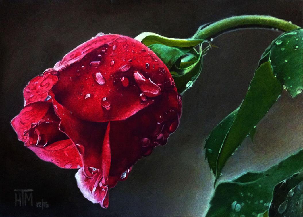 Wet Rose by haroldmanalo