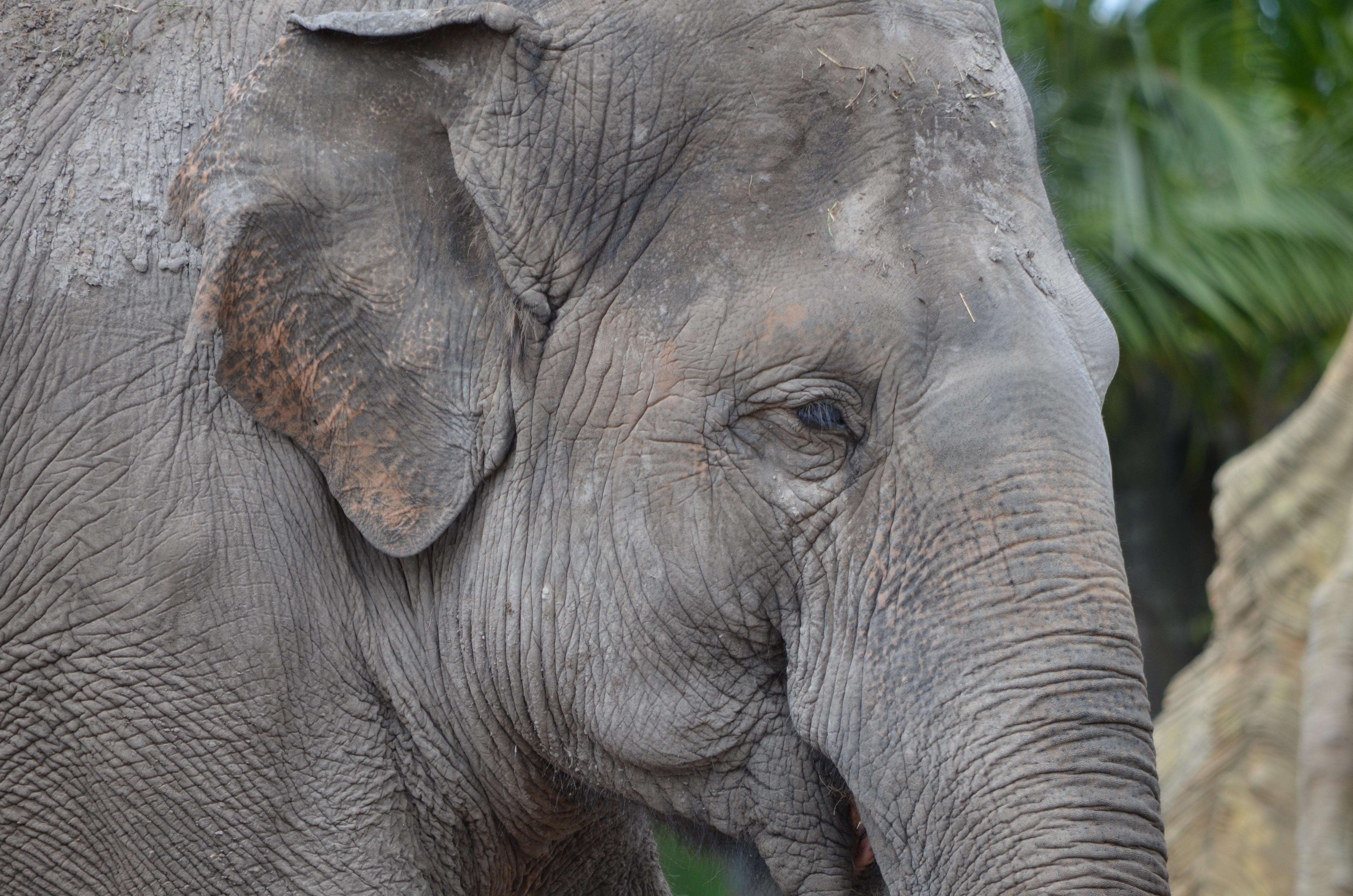 Image Gallery indian elephant face