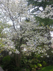 My Back yard's cherry Blossoms