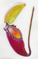 Nepenthes rajah by Quelchii