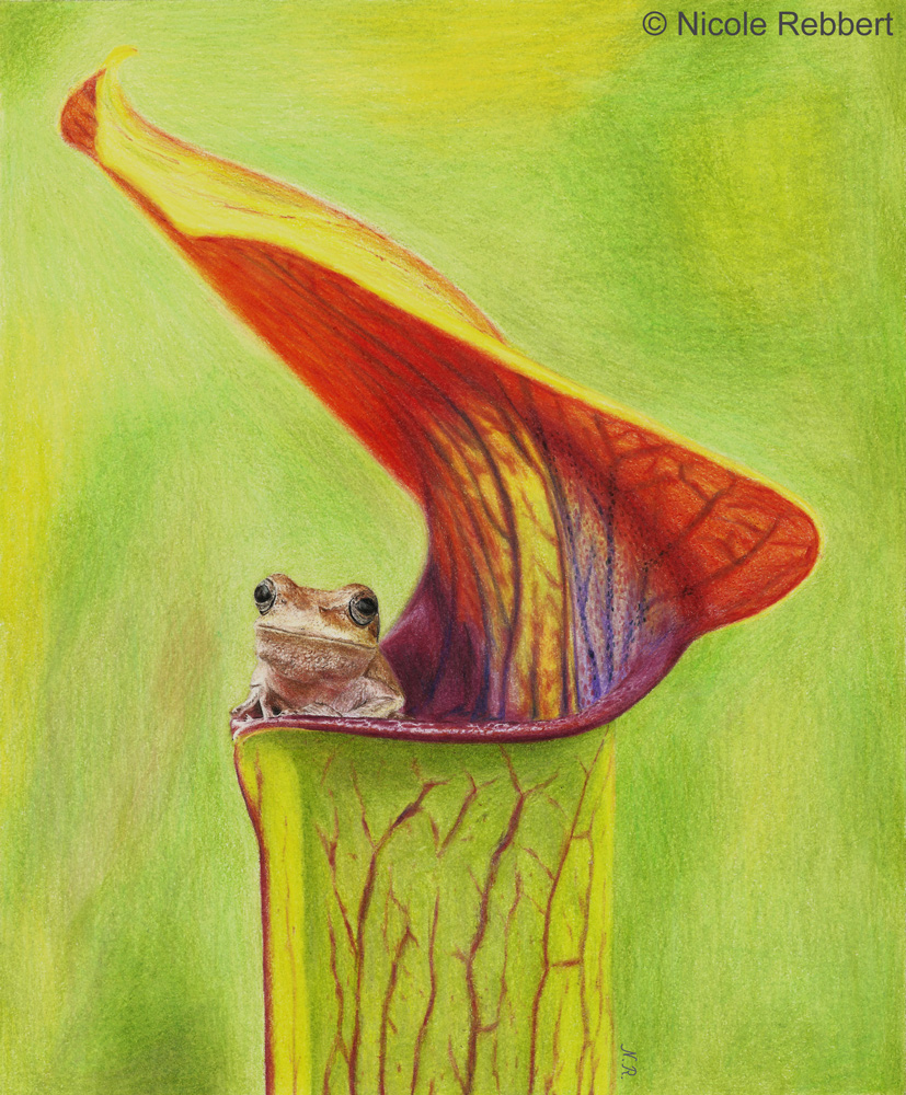 It's a trap - frog in pitcher plant