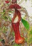 Pitcher plant (drawing)