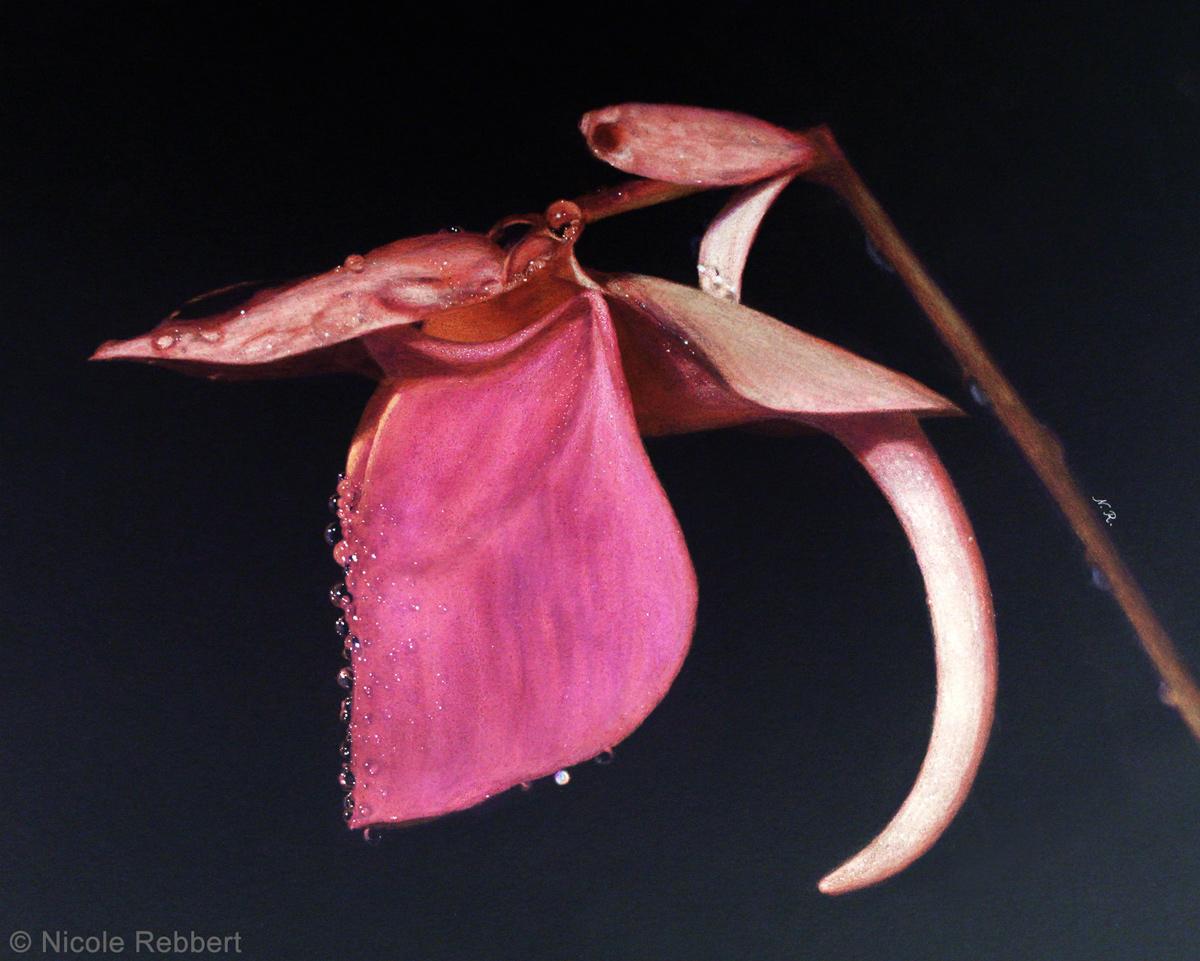 U. quelchii (Inverted Drawing)