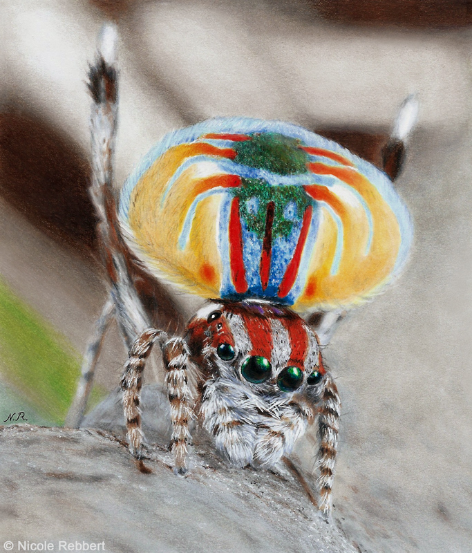 Peacock Spider drawing by Quelchii