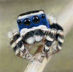 Peacock Spider (drawing)