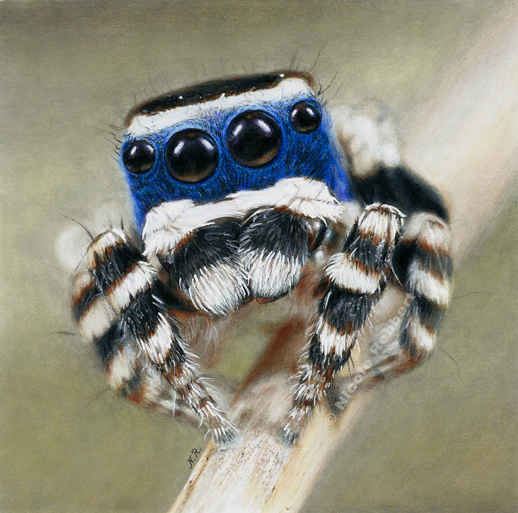 Peacock Spider (drawing) by Quelchii