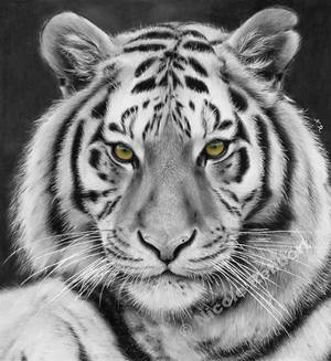 Black and White Tiger (drawing)