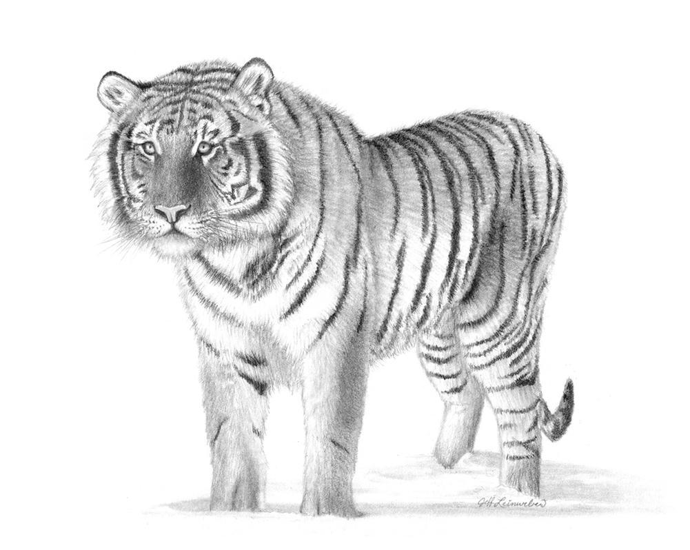 Tiger Drawing by BadBats on DeviantArt