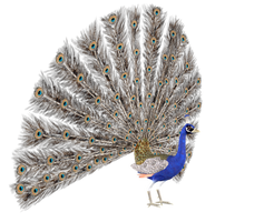 STOCK PNG peacock3 by MaureenOlder