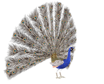 STOCK PNG peacock3