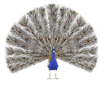 STOCK PNG peacock4