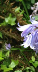 STOCKPHOTO bluebell