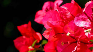 Red Bouganvillia