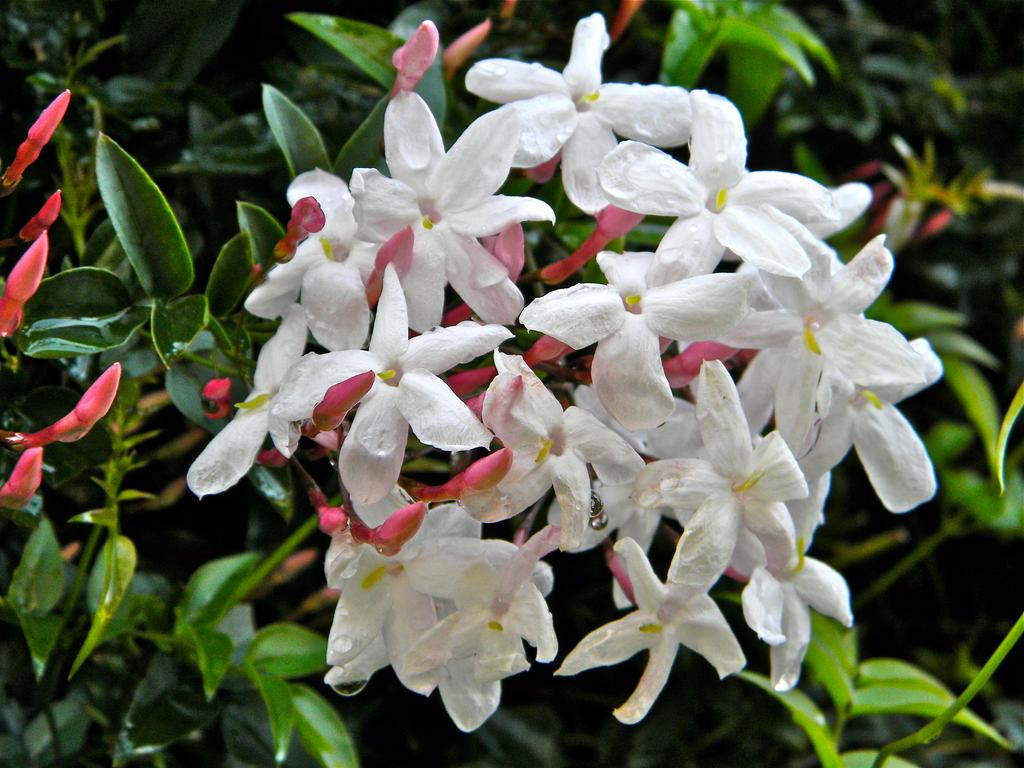 Water Drops On Jasmine Flowers 922 By Melofarcephotography On