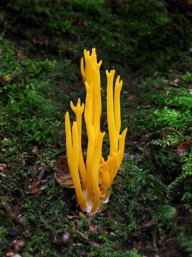 Calocera viscosa by Oniroid