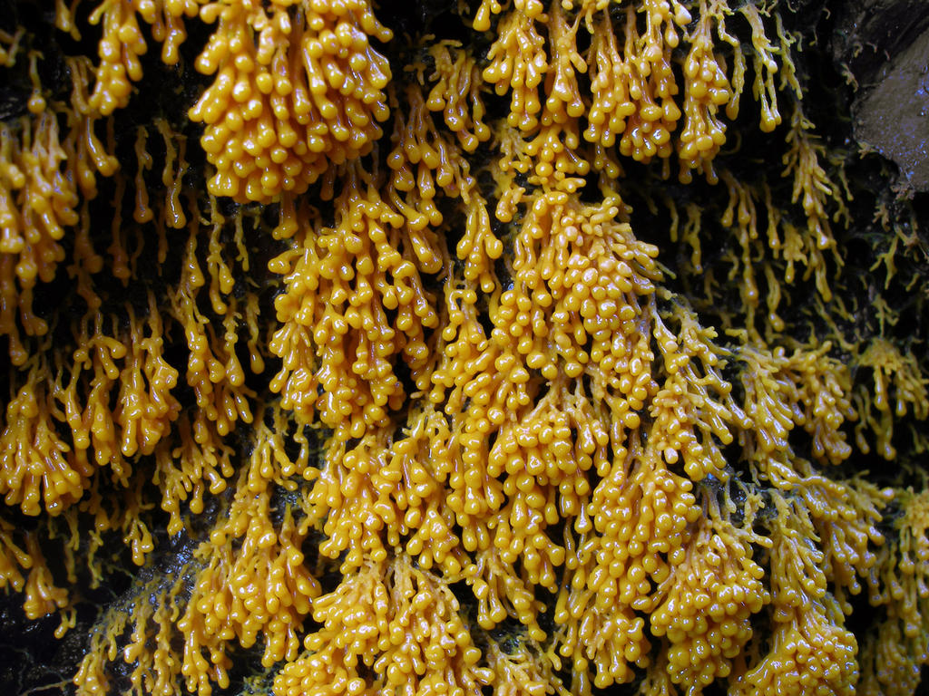 Badhamia Utricularis by Oniroid