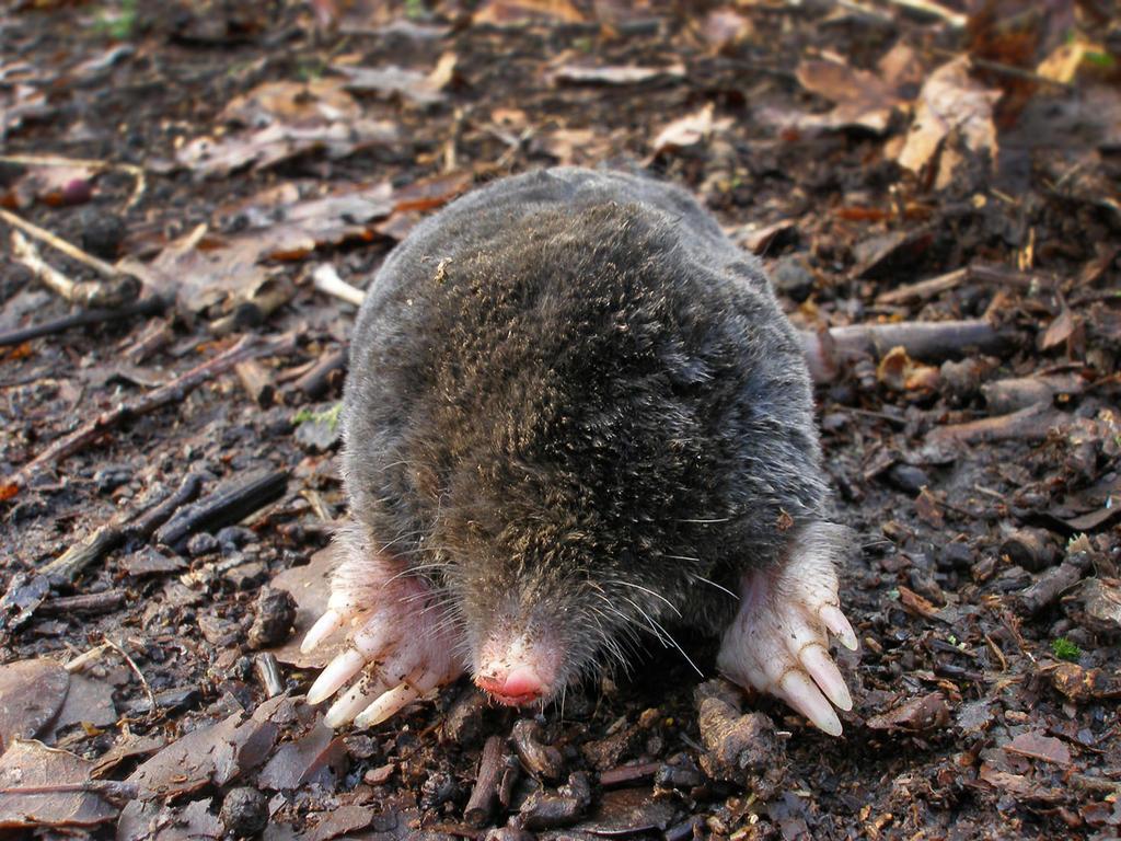 Mole by Oniroid