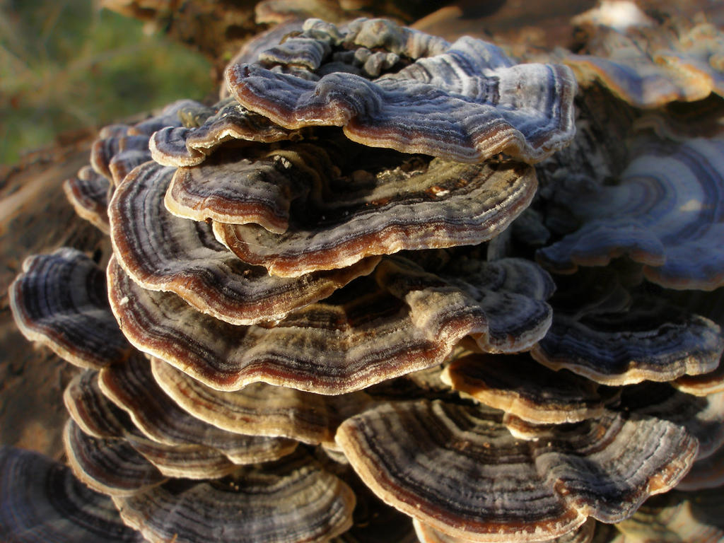 Turkey Tail by Oniroid