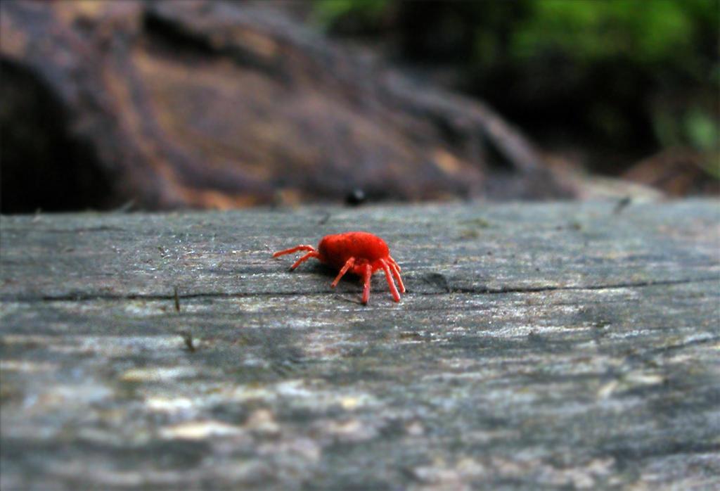 Red Mite by Oniroid