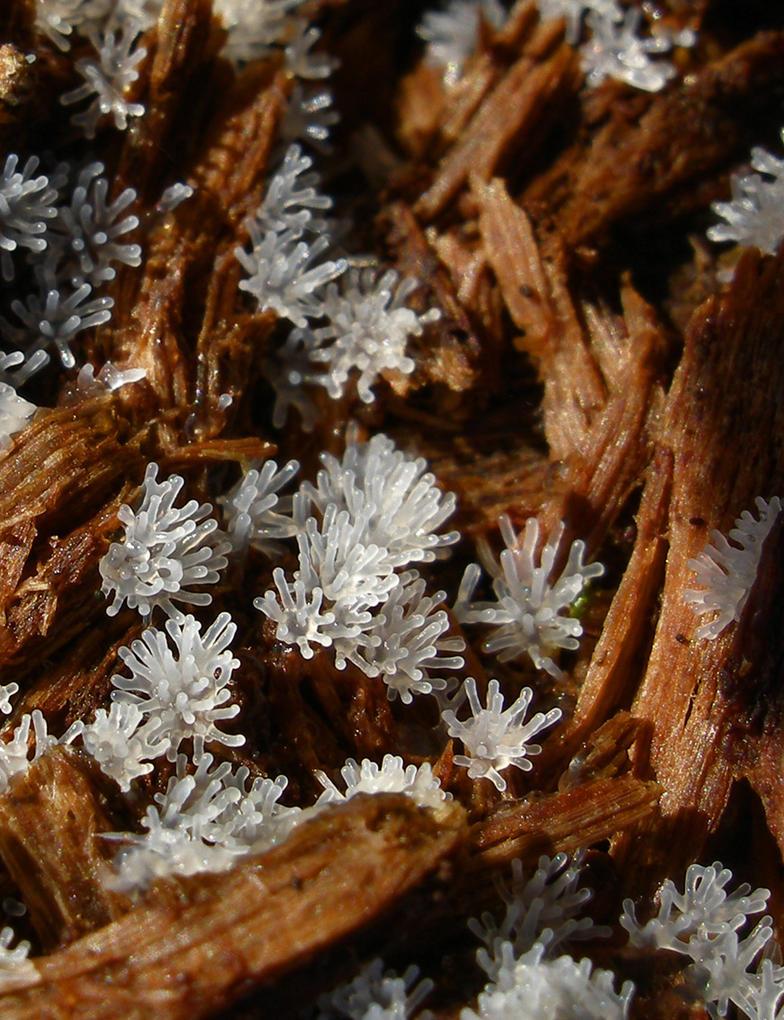 Ceratiomyxa fruticulosa by Oniroid