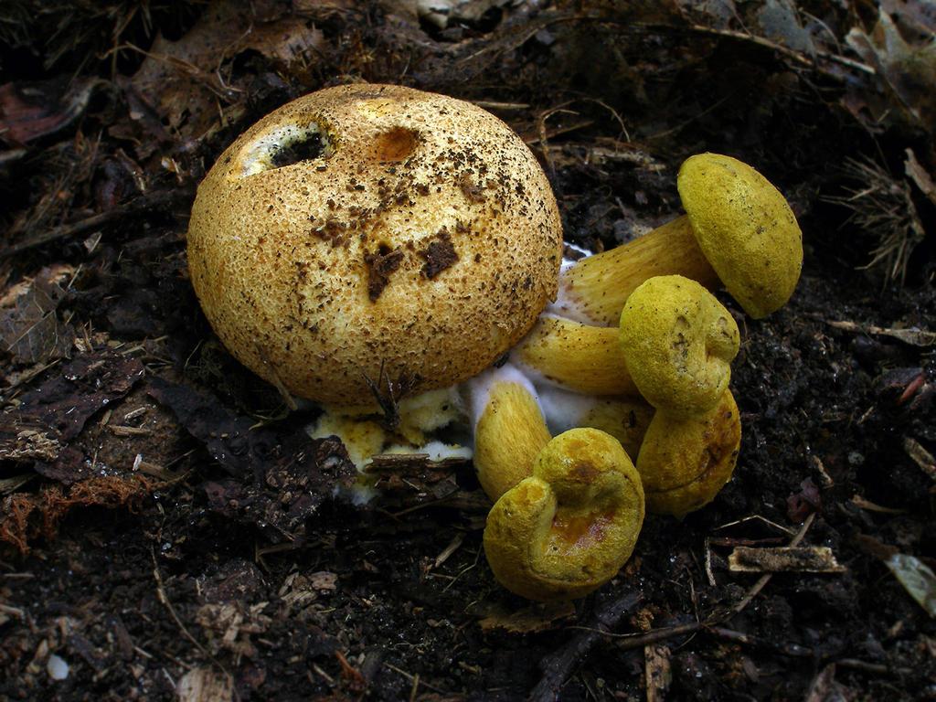 Pseudoboletus parasiticus by Oniroid