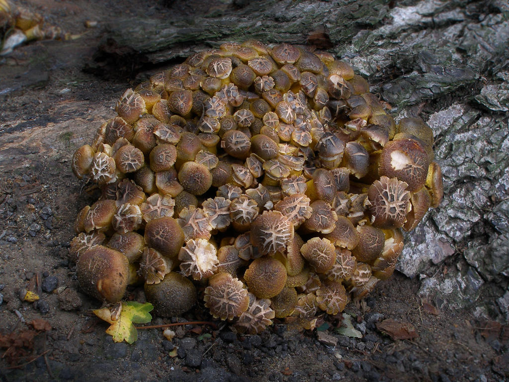 Armillaria Mellea by Oniroid