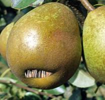 Pear Rex