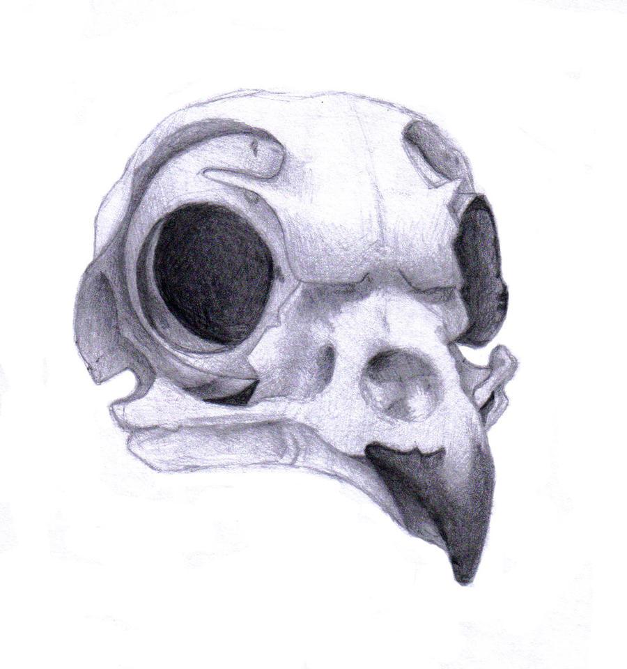 burrowing owl skull by rz250 on deviantart