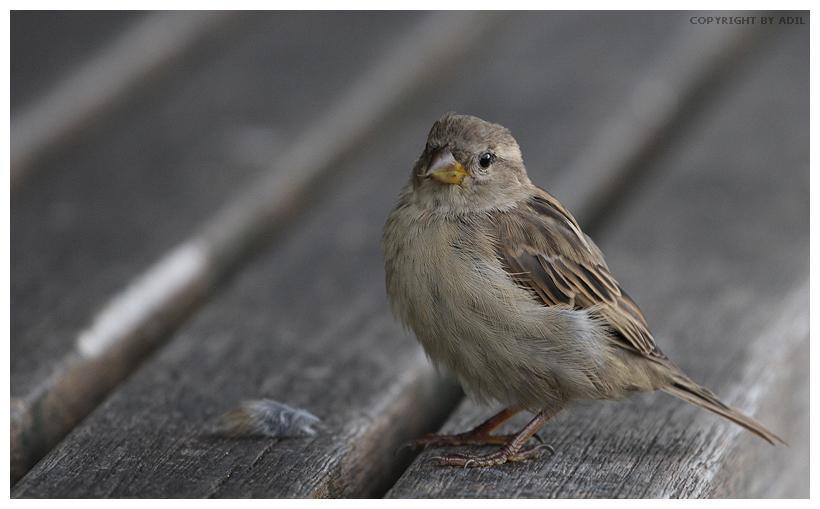 Sparrow by trix2008