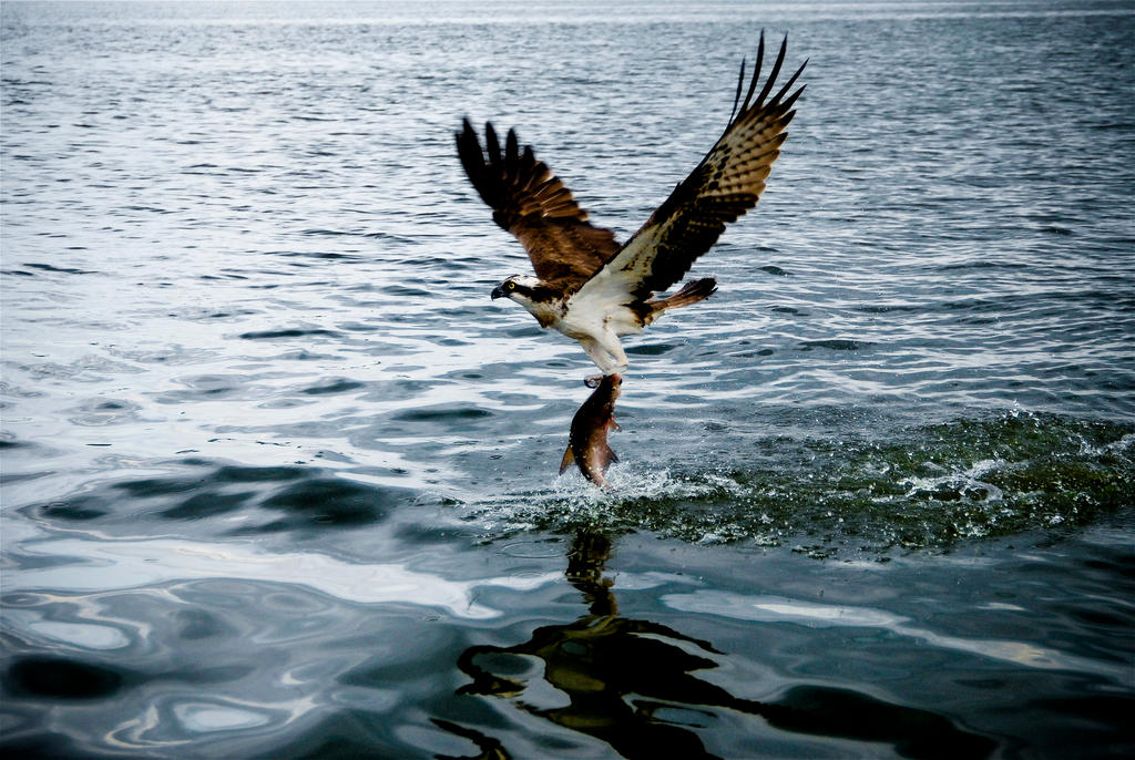Osprey catching fish by untitledphotographer on deviantart for Fish catching net